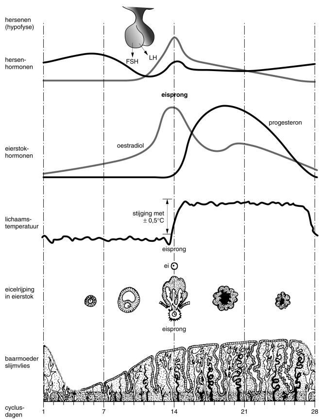 Afbeeldingsresultaat voor menstruatiecyclus pil